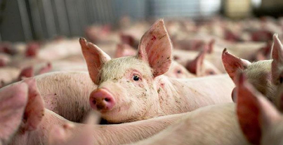 pesta-porcina-africana_eb620.jpg