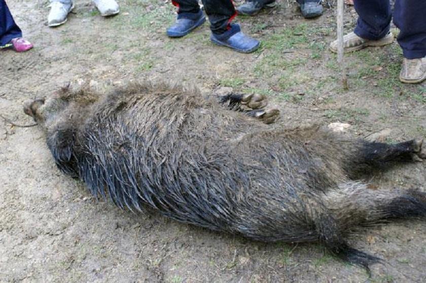 pesta-porcina-africana-confirmare-mistreti_a46dc.jpg