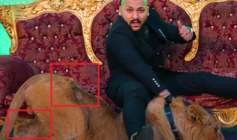FOTO-Manelistul Dani Mocanu, cercetat de Poliție după ce a folosit un leu rănit și subnutrit într-un videoclip