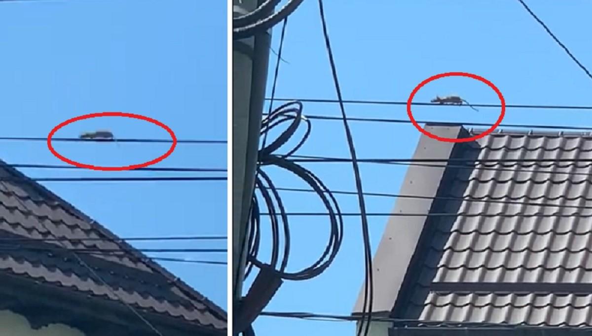 """Șobolan """"acrobat"""", filmat la înălțime pe un cablu de curent electric în centrul Ploieștiului – VIDEO"""